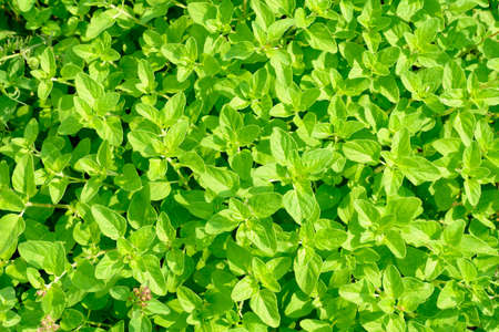Bright green young leaves of mint bushes. Top view.