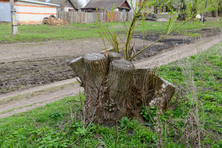 Tree stump with young sprouts on the village street