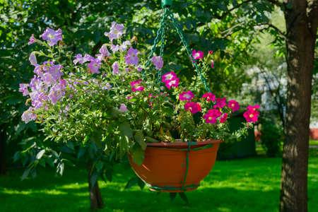 Hanging planters with purple flowers in a green garden 版權商用圖片
