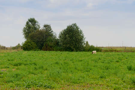One cow grazes in a green meadow on a cloudy summer day