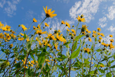 Dense thickets of jerusalem artichoke with bright flowers. Bottom view of the blue sky with clouds.