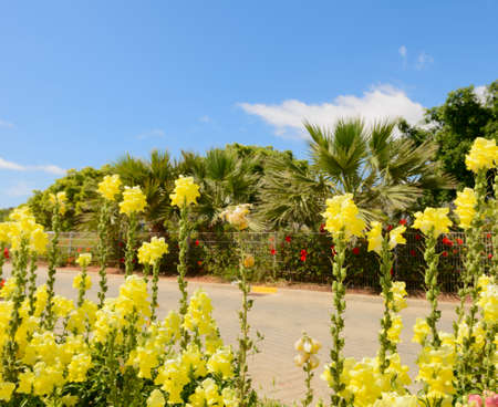 Bright yellow flowers and palm trees on the city street on a sunny summer day