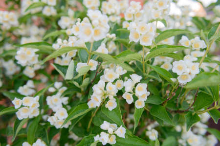 White jasmine flowers on branches with green leaves
