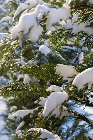 Thuja branches in the snow on a sunny day. Stock fotó