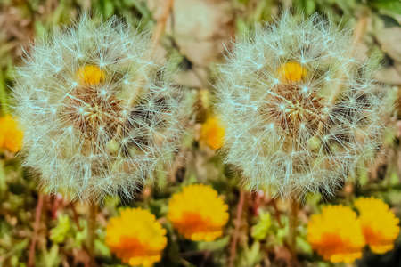 Two dandelion next to each other, close-up.
