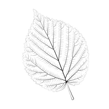 macro leaf: Isolated vector monochrome birch leaf. Illustration