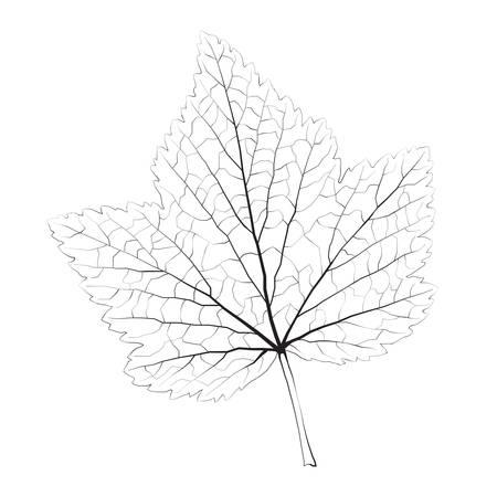 macro leaf: Isolated vector monochrome currant leaf