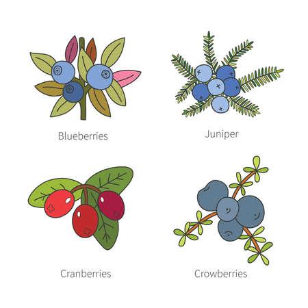 enebro: Conjunto de vector del doodle de las bayas de varios colores como arándanos arándanos enebro crowberries aislado en blanco Vectores