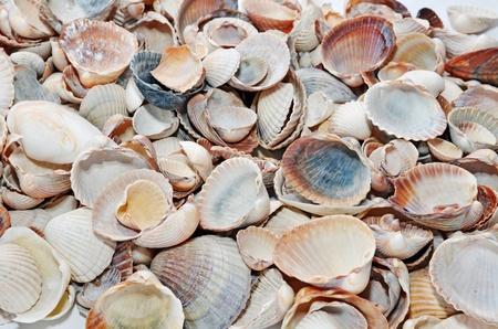 Diversi tipi di conchiglie di mare