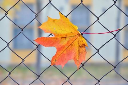Maple leaf on grid photo