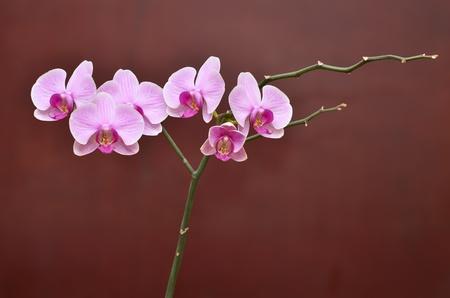 Orchid fiori ramo Archivio Fotografico