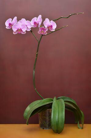 Orqu�dea flores rama