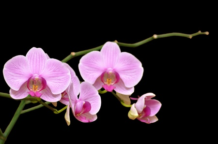 purple orchid: Orchid flowers branch