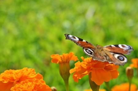 Butterfly over the flower Standard-Bild