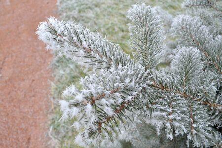 Rama de árbol de Navidad con agujas heladas Foto de archivo