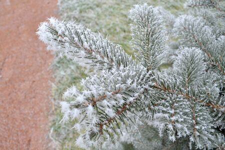 Branch of Christmas tree with frost needles Standard-Bild