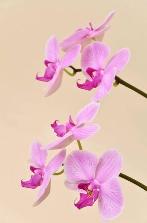 Vivid ramo di fiori di orchidea su beige