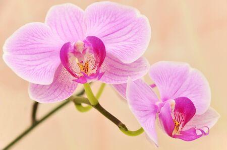 Rama viva de flores de las orquídeas de color beige