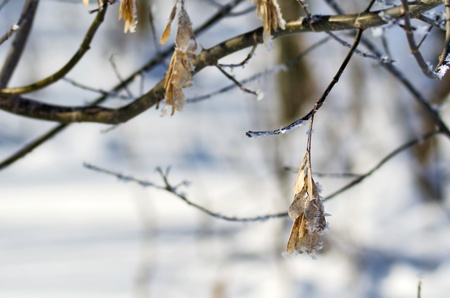 Hanging maple seeds