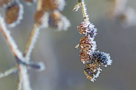 Branch of alder cones