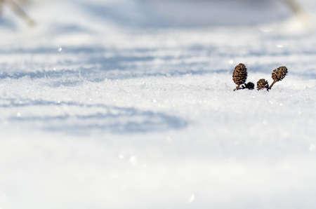 Alder conos en la nieve Foto de archivo