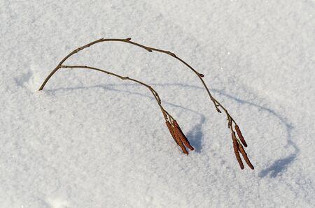 Abedul par de rama con semillas