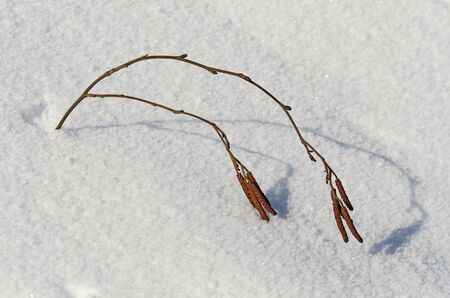 Birch couple of branch with seeds