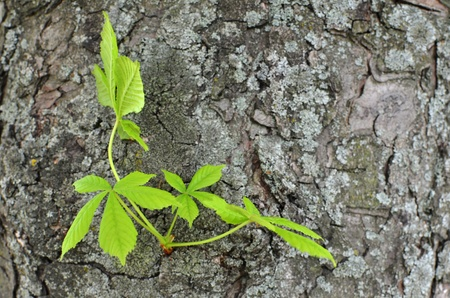 Young branch of leaves of chestnut tree growing on a side of trunk over grey cracked bark