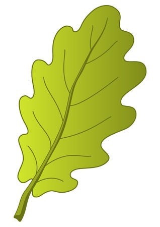 Leaf of oak tree, nature object, vector, isolated Vector