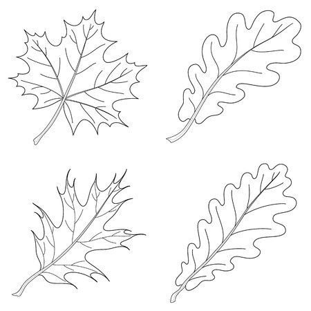 Leaves of plants, nature object, vector, isolated, set, contour: maple, oak, oak iberian Illustration