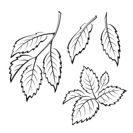 Conjunto de la planta, las hojas del árbol de olmo, Negro sobre blanco. Ilustración de vector