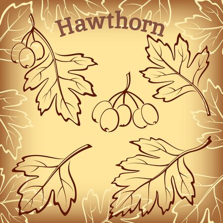 picto: Set of Plant Pictograms, Hawthorn Tree Leaves and Fruits on Brown Background. Vector