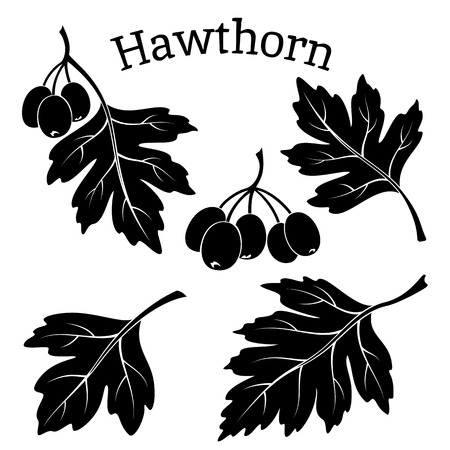 leaved: Set of Plant Pictograms, Hawthorn Tree Leaves and Fruits, Black on White Background.
