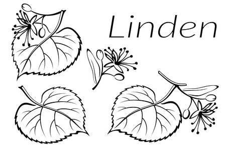 linden tree: Set of Plant Pictograms, Linden Tree Leaves and Flowers, Black on White. Vector Illustration