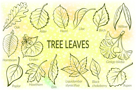 linden tree: Pictograms Set, Tree Leaves, Oak, Willow, Liquidambar, Hawthorn, Poplar, Aspen, Hazel, Ginkgo Biloba, Elm, Birch, Alder, Linden, Hornbeam, Chokeberry and Lilac. Eps10, Contains Transparencies. Vector Illustration
