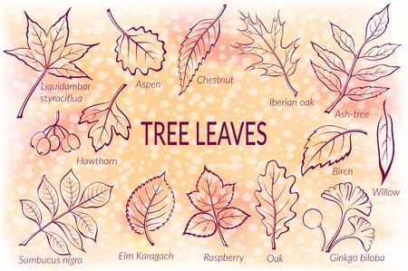 chestnut tree: Pictograms Set, Tree Leaves, Oak, Iberian Oak, Raspberry, Willow, Liquidambar, Hawthorn, Aspen, Ginkgo Biloba, Elm Karagach, Birch, Ash, Chestnut and Sambucus. Eps10, Contains Transparencies. Vector Illustration