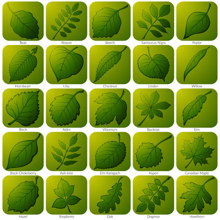 alder: Set of Green Square Nature Icons with Pictogram Leaves of Various Plants, Trees and Shrubs.