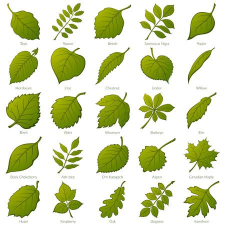 Conjunto de hojas verdes de varias plantas. Ilustración de vector