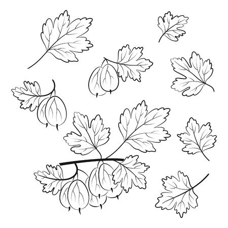 Satz Stachelbeere, Beeren und Blätter, schwarze Piktogramme, isoliert auf weiss. Vektor