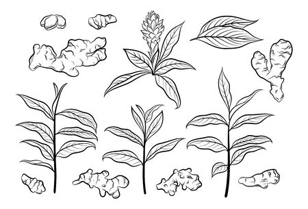 Set of Ginger Roots and Leaves, Black Pictograms Isolated on White. Vector