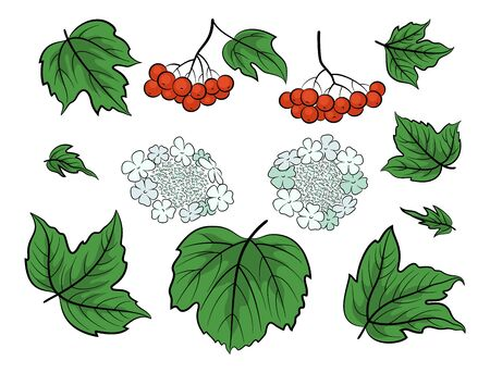 Set of Viburnum, Green Leaves, Red Berries and White Flowers, Isolated on White. Vector Illustration