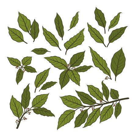 Satz von Pflanzenpiktogrammen, Lorbeerlorbeerblatt, schwarze Konturen auf Weiß. Vektor