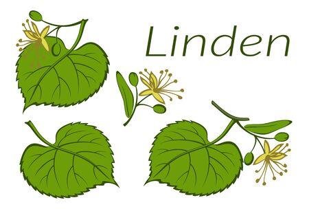Insieme delle piante, foglie verdi dell'albero di tiglio e fiori gialli, isolati su bianco. Vettore Vettoriali