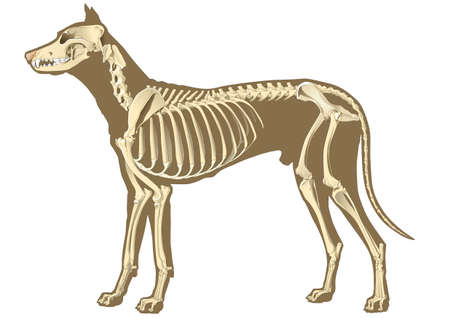 skeleton of dog section with bones x ray photo