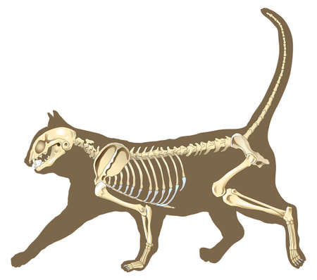 skeleton x ray: skeleton of cat section with bones x ray Stock Photo