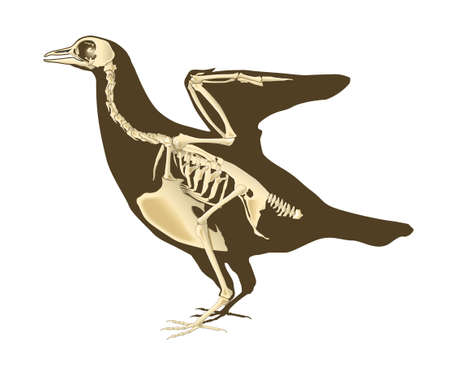 skeleton of bird section with bones radiography