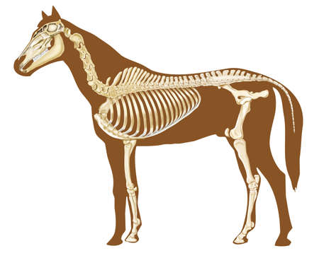skeleton x ray: horse skeleton section with bones x-ray