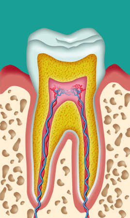 Section of a tooth schematic drawing cutout Stock Photo