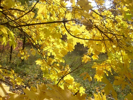 the lumen: the game of light on the yellow maple leaves