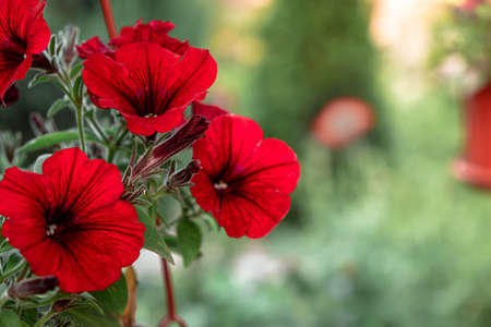 red petunia hanging in a pot on a blurry green background. home gardening Standard-Bild